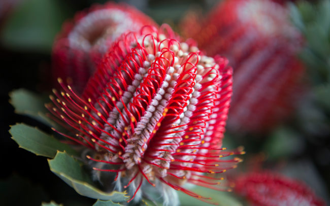 Peninsula Wild Flower (Photo of a beautiful wildflower) | Mornington Peninsula Wild Flowers & Bloom Boutique