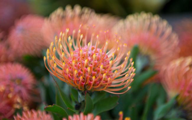 Peninsula Wild Flower (Photo of a beautiful wildflower) | Mornington Peninsula Wild Flowers & Bloom Boutique